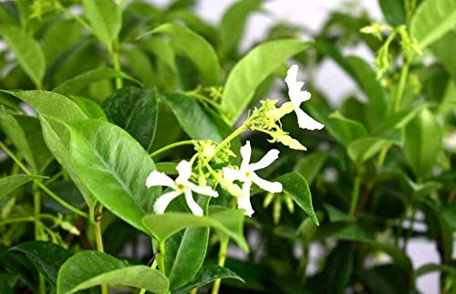Live Plant Star Jasmine Live Plant Potted 3-6 Inch Confederate Jasmine 6-12 Months Old #HDN01YN Get 10