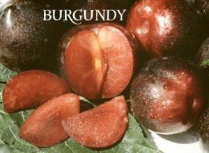 Burgundy Plum Tree - 2 Year Old 4-5 Feet Tall