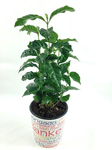 Echter Kaffee, frische Kaffeepflanze, Coffea arabica, im 12 cm Topf