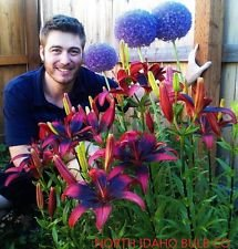 Tango Lily (15-bulbs[12cm/14cm] TANGO LILY~RED & BLACK~FLOWER BULBS 42
