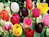 Single Late Mix Tulip Flower Seeds 50 Stratisfied Seeds