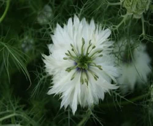 """200 semillas de amor en la niebla""""Miss Jekyll blanca"""" hermosa flor ..."""