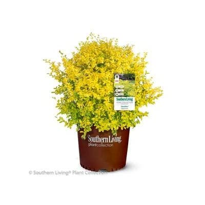Sunshine Ligustrum : Garden & Outdoor