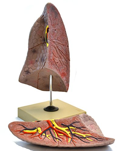 Eisco Labs Human Right Lung Anatomical Model, 2 Parts, Life Size, Approx. 10
