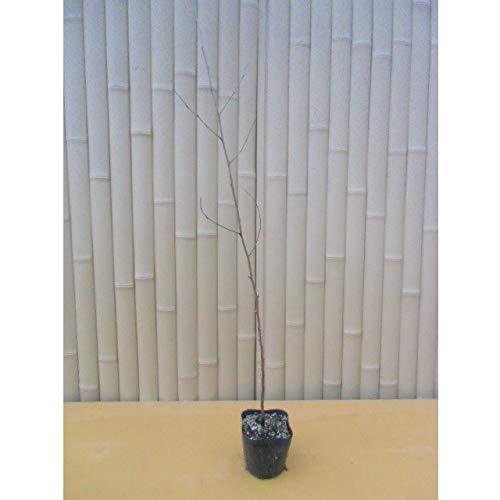 【45本セット】 ムクノキ 樹高0.5m前後 10.5cmポット 苗木 植木 苗 庭木 生け垣 B07HFMF5ZT