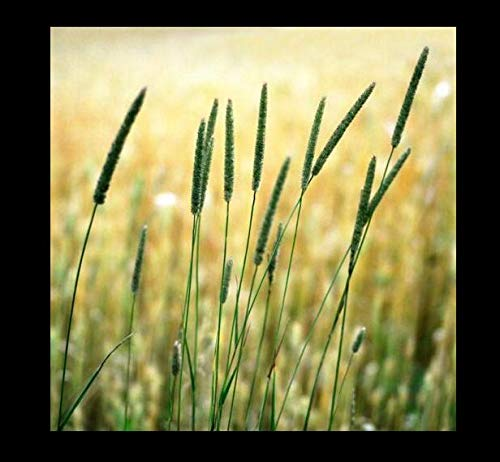 Seeds Climax Timothy Grass Seeds for Deer Plot Rabbits Goat Horse Hay Get 2000#NR01YN