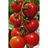 Organic Heirloom Tomato Money Maker Vegetable Seeds 25+ seeds Very Vigorous and Productive! very productive