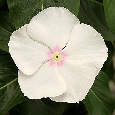 Organic Vinca Cobra White 100 Bulk Seeds : Garden & Outdoor