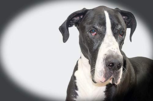 - Photography Poster - Dog, Dog Face, Great Dane, Mantle, 24