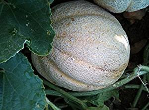 David's Garden Seeds Fruit Melon Missouri Gold (Orange) 25 Organic Heirloom Seeds