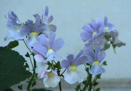 Nemesia Blue Gem Seeds Nemesia strumosa