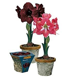 Amazon Com Amaryllis Birch Pot Gift Kits Black Pearl