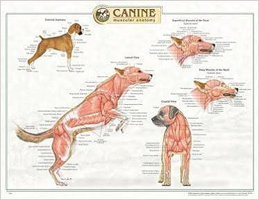 Canine Muscular Anatomy Chart: 9781587795053: Medicine & Health ...