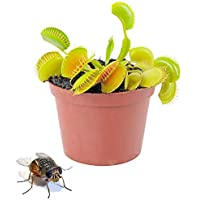 Planta Carnívora Venus Atrapamoscas Dionaea Muscipula en Maceta Pequeña Planta Viva Que Come Insectos