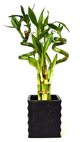 9GreenBox - Lucky Bamboo - Spiral Style with Diamond Ceramic Vase by 9GreenBox.com