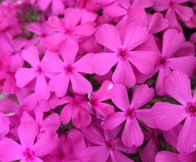 Classy Groundcovers - Phlox 'Drummond's Pink' Creeping Phlox, Moss Phlox {25 Pots - 3 1/2 in.} by Classy Groundcovers (Image #2)