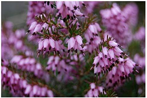 (4 Pack) 9cm Pot Winter Flowering Hybrid Heather Furzey Upright Form Deep Rosy Pink Flowers B&R Direct (UK) Ltd