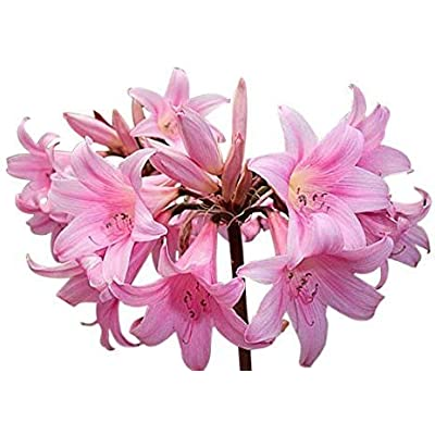 Amaryllis Belladonna - Naked Lady 3 Large Bulbs Amaryllis Bulbs : Garden & Outdoor
