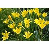 Urban Gardens Rain lily yellow (Zephyranthus sulphurea) - Set of 5