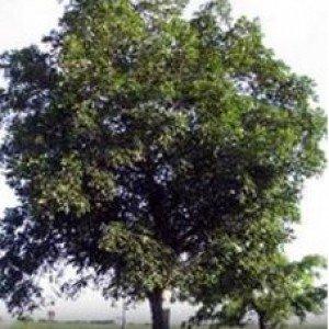Shellbark Hickory Nut - 4
