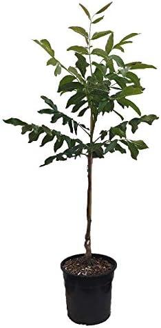kleinbleibender 100-125cm im Topf Juglans regia Kompakt wachsender Walnussbaum `Lara/´