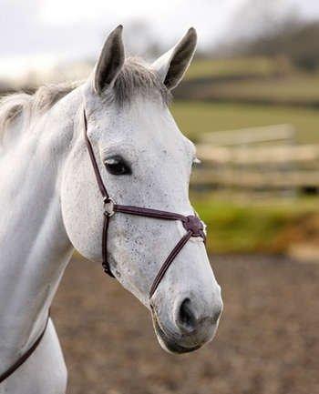Noseband Horse - 7