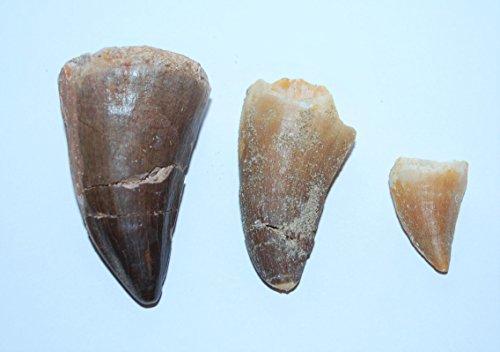 Mosasaur Tooth Fossils (3 Teeth) Dinosaur Age w/Display Box LDB & COA #22