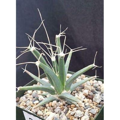 Leuchtenbergia principis Cactus Cacti Succulent Real Live Plant : Garden & Outdoor