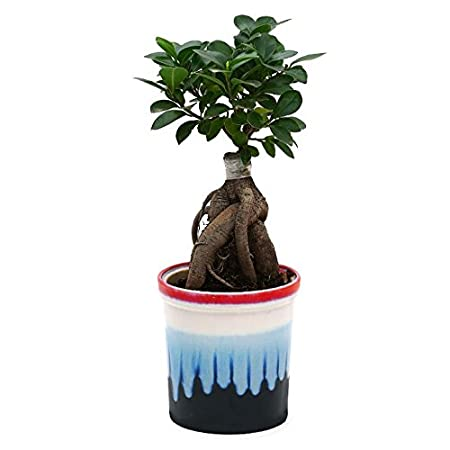 Exotic Green Exclusive Ficus 4 Year Old Bonsai Plant Rainbow Black Pot Indoor Bonsai Plants at amazon