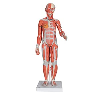 3b Scientific B56 21 Part 12 Life Size Complete Female Muscular