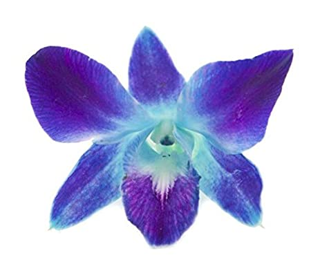 Amazoncom Eflowerwholesale Premium Cut Blue Orchids 10 Stems