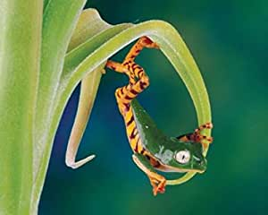 1art1® Posters: Frogs Poster Art Print - The Acrobat, Shumway (12 x 9 inches)