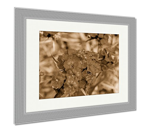 Dianthus Barbatus Sweet (Ashley Framed Prints Sweet William Dianthus Barbatus Or Carnation Is Flowering Plant In The Family, Contemporary Decoration, Sepia, 26x30 (frame size), Silver Frame, AG5912956)