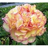 Peach & Pink Peony Flower Seeds 30 Seed Pack Easy Grow