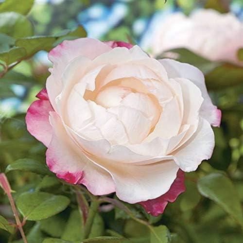 Nostalgia Bush Cream and Cherry Red Rose 4L Pot 15cm 60cm Plant