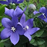 Outsidepride Balloon Flower Blue Platycodon Grandiflorus Plant Seed - 1000 Seeds