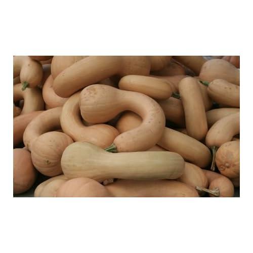HEIRLOOM NON GMO Pennsylvania Dutch Crookneck Squash 15 seeds