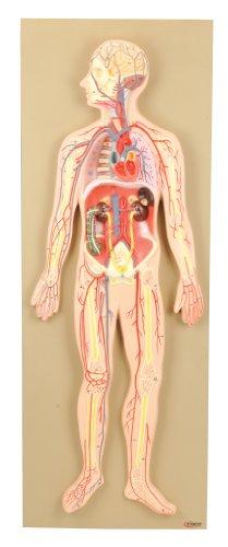 Human Circulatory System - Eisco AM0322AS Model, Human, Circulatory System, Half-Size