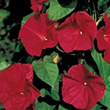 Park Seed Scarlet O'Hara Morning Glory Seeds