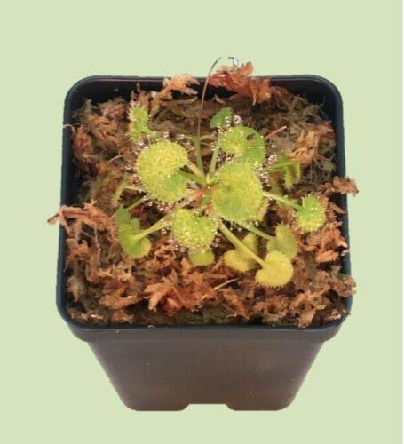 "Live Carnivorous Drosera prolifera Sundew Plant Rare - in 2.5"" Pot"