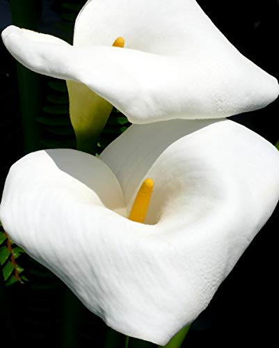 Calla Lilies Fine Art Photo matted and ready for frame. ()
