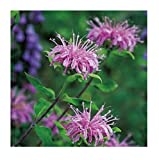 David's Garden Seeds Herb Bergamot Wild SL8277 (Purple) 200 Non-GMO, Open Pollinated Seeds