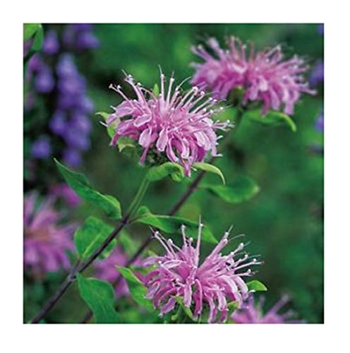 David's Garden Seeds Herb Bergamot Wild SL8277 (Purple) 200 Non-GMO, Open Pollinated Seeds - Herb Bergamot