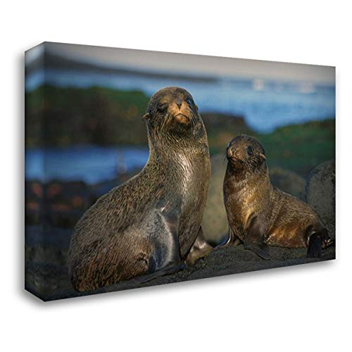 Fur Seal Islands - Galapagos Islands Fur Seal Cow and pup, Cape Douglas, Galapagos Islands 40x28 Gallery Wrapped Stretched Canvas Art by De Roy, Tui