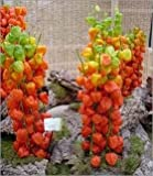 10+ Seeds Of Chinese Lantern Plant Physalis Franchetii