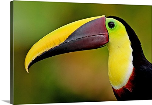 Gallery-Wrapped Canvas entitled Chestnut mandibled toucan, Costa Rica, Rio Savegre. by Great BIG Canvas (Chestnut Mandibled Toucan)
