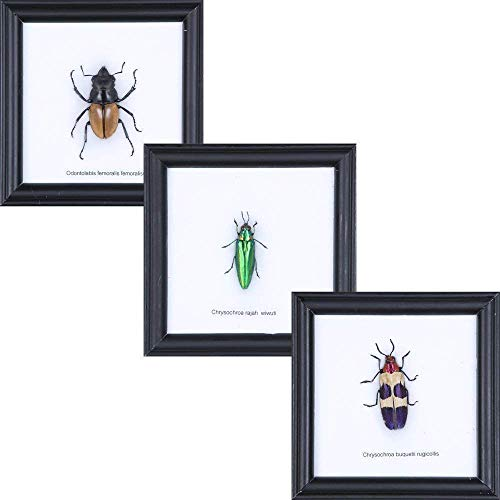 SET OF 3 Framed Insects (Assorted may differ from photo) | Framed Incredible Insect Wall Decor | Unique Taxidermy Collectables | 4.75 x 4.75 in.