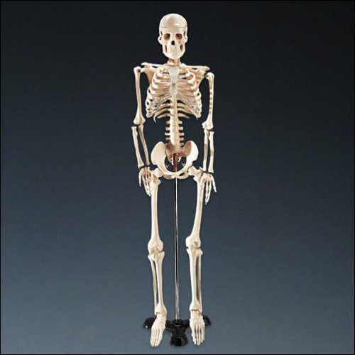 Mr Thrifty Skeleton Amazon Anatomical Chart Company