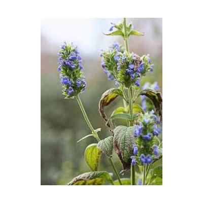 Salvia hispanica CHIA Seeds! : Garden & Outdoor