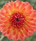 Dahlia - Ball - Safe Shot 3 bulbs